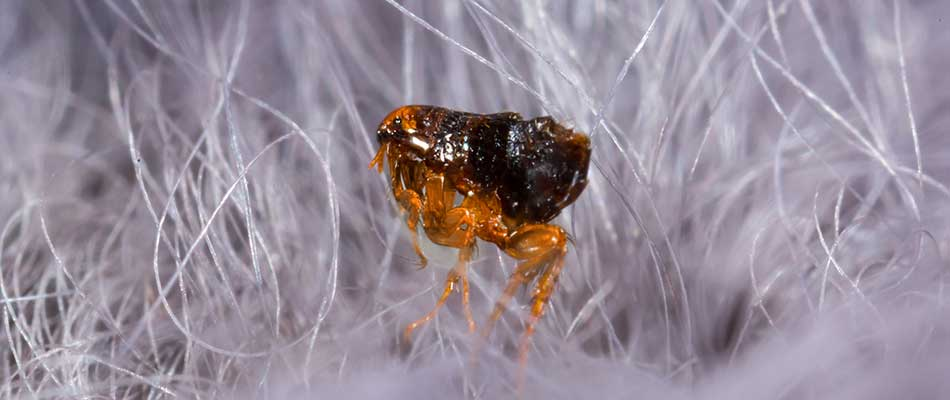 Close up photo of a flea in a pet's hair near West Chester, Pennsylvania.